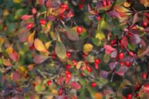 Декоративные осеннецветущие высокие кустарники фото
